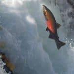 Bill to protect critical salmon habitat from suction dredge mining passes Senate