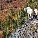 Conservation Groups Support Translocation of Mountain Goats from the Olympics to North Cascades