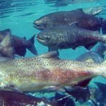 Local Media Highlights Need for Mining Reform to Protect Salmon, Orca Whales