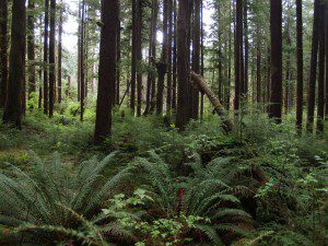 Forest Restoration on Olympic National Forest by Olympic Collaborative