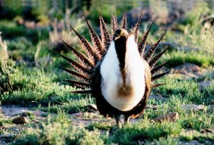Endanged Sage Grouse, Photo Courtesy of BLM
